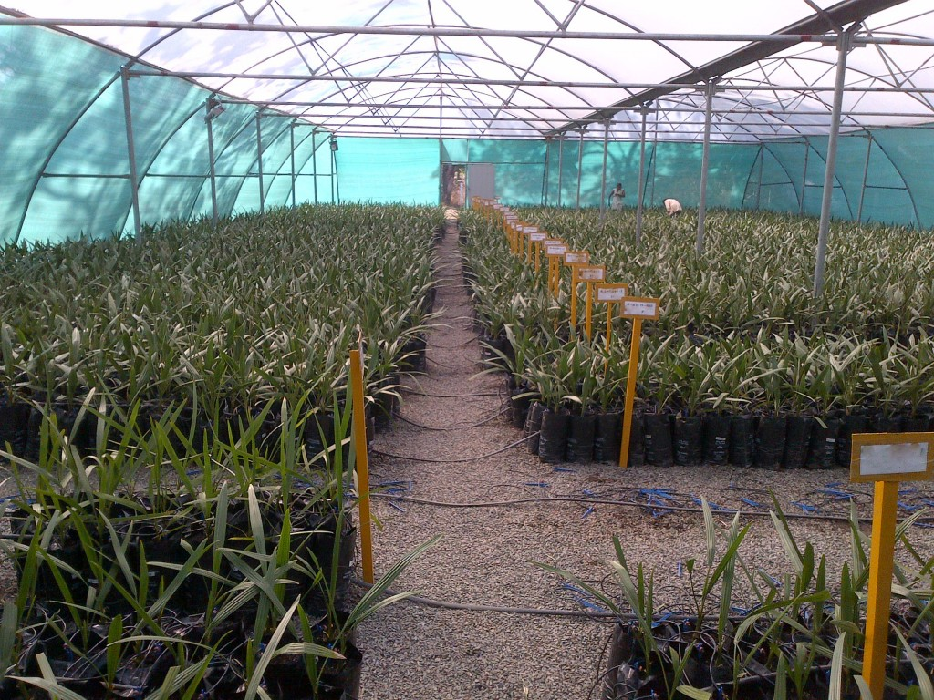 ATUL Date Palm Nursery